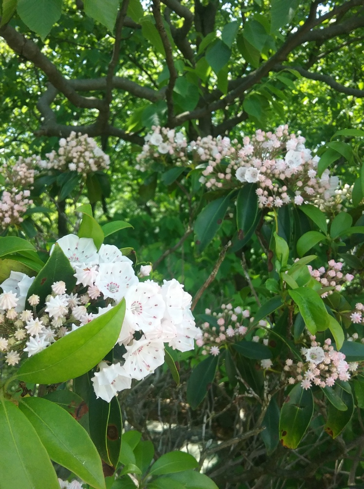 Mountain laurel blooms, close up